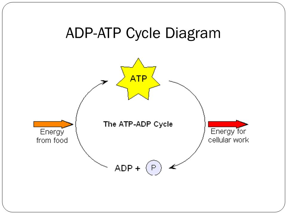 ADP-ATP Cycle Diagram