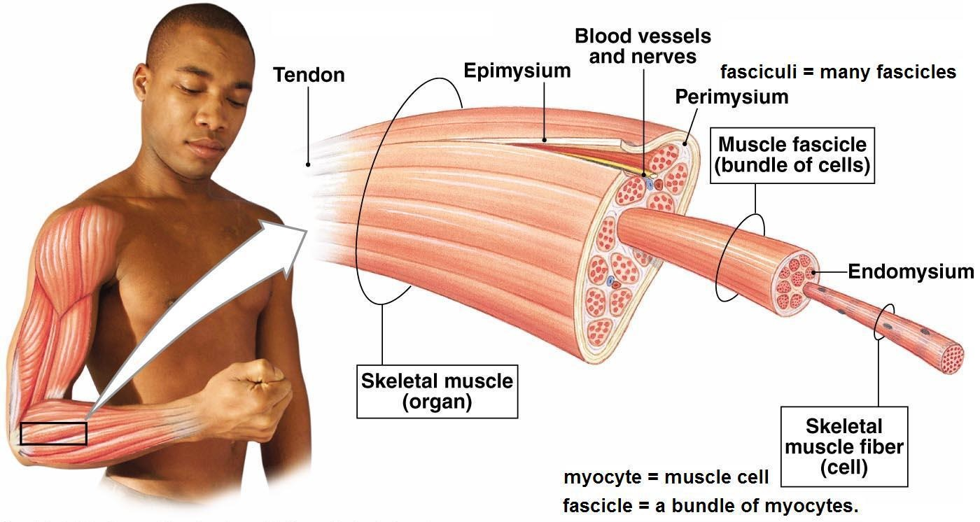 Muscle-Fiber-Anatomy